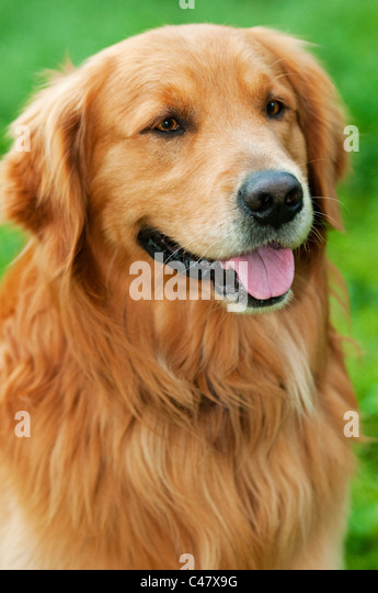 Adult male Golden Retriever showing tongue - (Canis lupus familiaris) - Stock Image