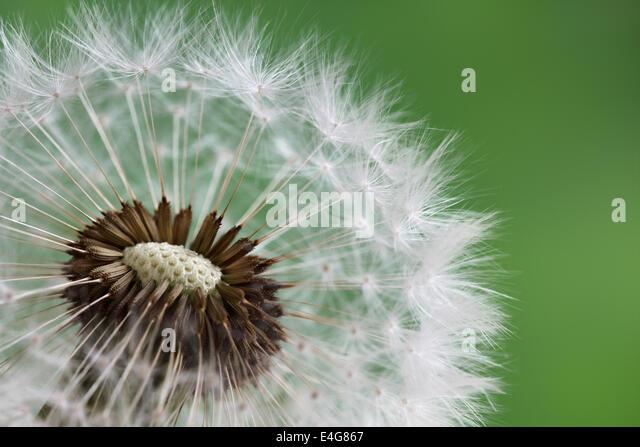Dandelion clock in morning sun - Stock Image