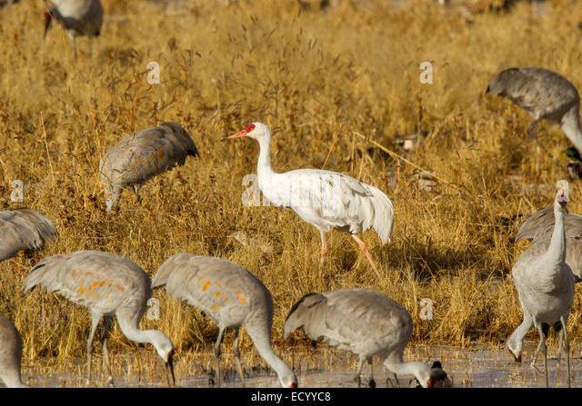 Sandhill Crane  Grus canadensis Bosque del Apache National Wildlife Refuge, New Mexico, United States 17 December - Stock-Bilder