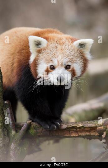 Red Panda; Ailurus fulgens; Captive; UK - Stock Image