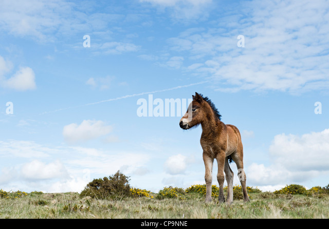 Dartmoor horse foal. Dartmoor national park , Devon, England - Stock Image