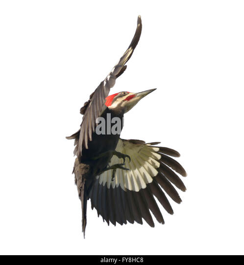 Digital Painting of  Pileated Woodpecker - Stock-Bilder