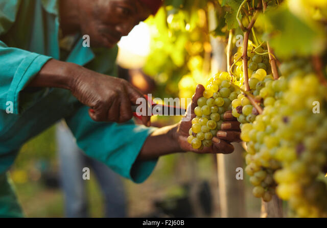 Close up shot of a man picking grapes during wine harvest in vineyard. Cutting bunch of grapes from vine. - Stock Image