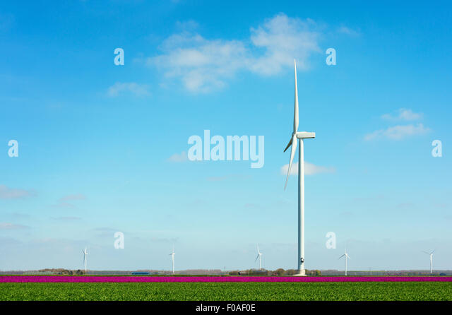 Field with magenta flower blooms and wind turbine, Zeewolde, Flevoland, Netherlands - Stock Image