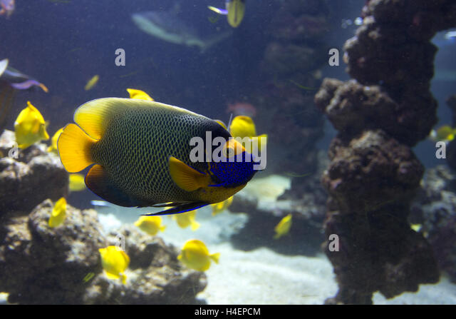Emperor FishStock Photos and Images