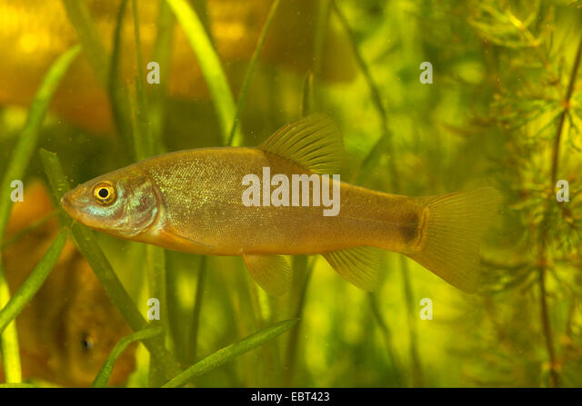 tench (Tinca tinca), with juvenile tail spot, Germany - Stock Image