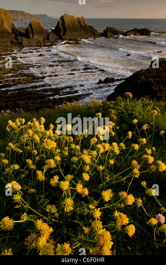 Lovely masses of Kidney Vetch iin spring on the cliffs at Hartland Quay, north Devon. - Stock Image