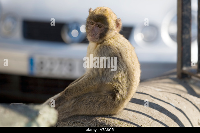 Young Gibraltar Ape sitting on a wall deep in thought, Upper Rock Nature Reserve, Gibraltar, Europe - Stock Image
