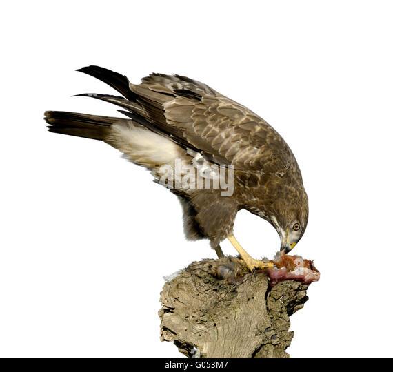 Common Buzzard - Buteo buteo - Stock Image
