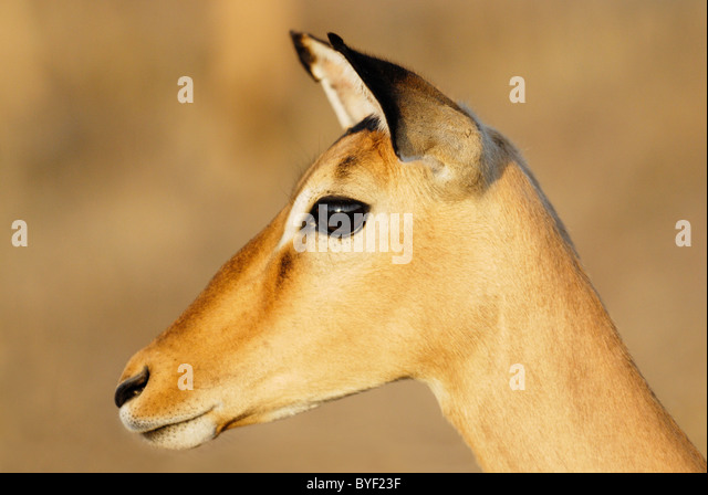 Female Impala in Kruger National Park, South Africa - Stock-Bilder