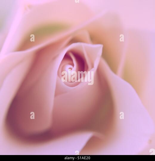 Macro of a pink rose - Stock-Bilder