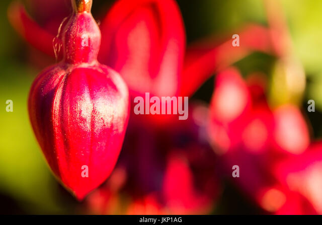 Merthyr Tydfil, South Wales, UK. 24 July 2017. UK weather: Fuchsia in bloom in the sunny evening light today. Credit: - Stock Image