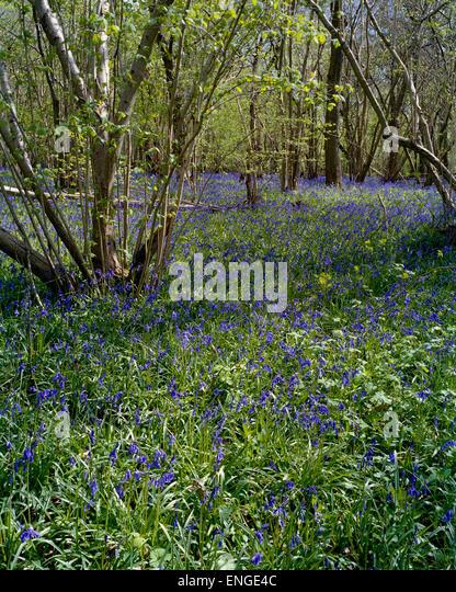 English bluebells in Cambridgeshire woodland - Stock Image