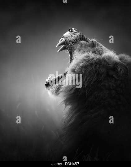 Lion portrait - Kruger National Park - South Africa (Artistic processing) - Stock Image