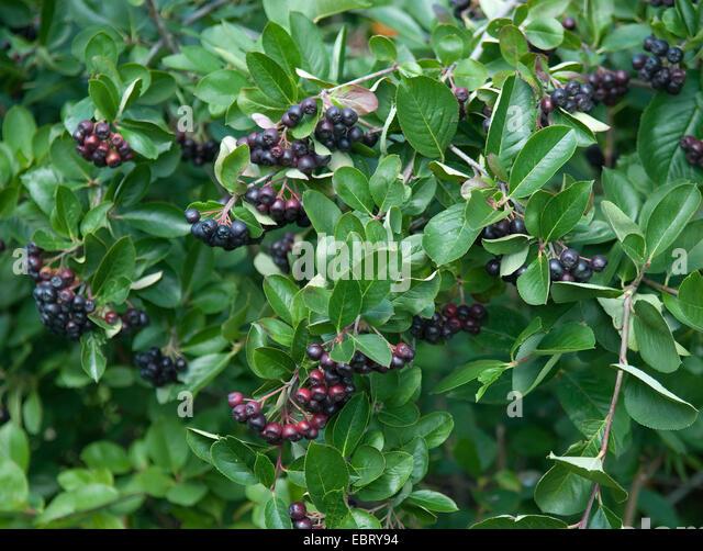 aronia melanocarpa ripe aronia berries stock photos. Black Bedroom Furniture Sets. Home Design Ideas