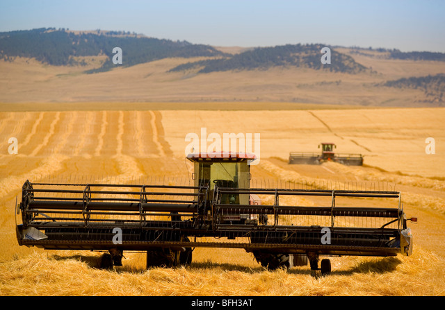Harvesting grain, Longview, Alberta, Canada - Stock Image