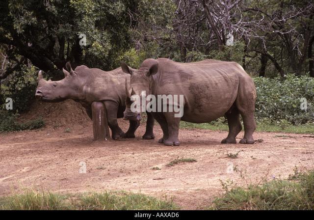 Rhinos in Hluhluwe game park in Zululand - Stock Image
