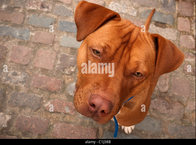 George the Staffordshire Bull terrier Douge de Bordeaux cross bread dog - Stock Image
