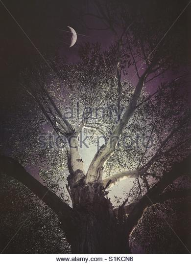 a Tree and the Moon at night' - Stock Image