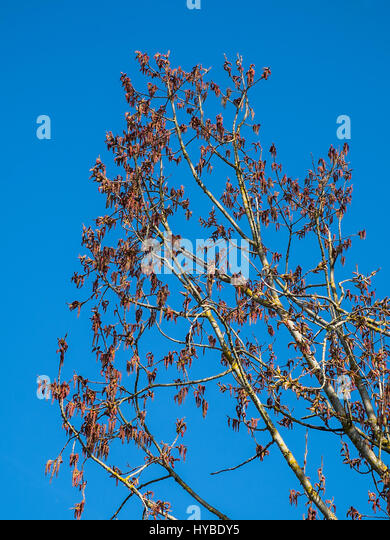 Flowering twigs on Ash tree (Fraxinus excelsior) - Stock Image