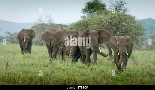 elephants in a line stock photos amp elephants in a line