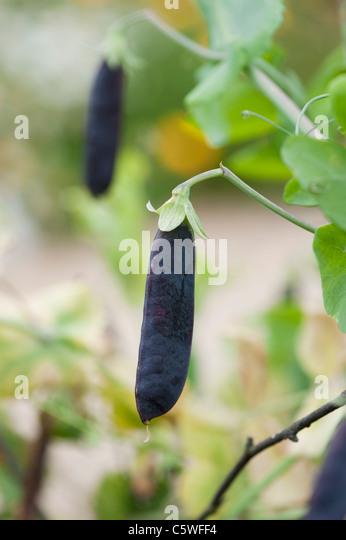 Pisum sativum . Pea Purple Podded in a garden selective focus. - Stock Image