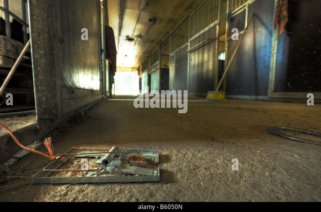 Rat trap in stable - Stock Image