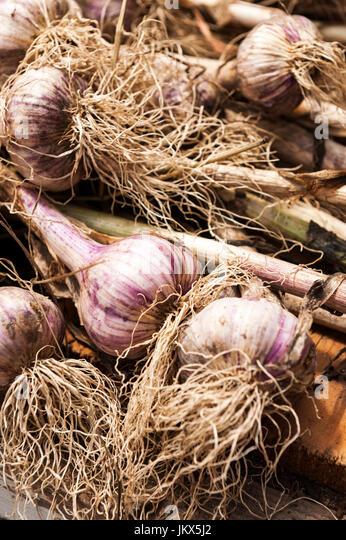garlic crop - Stock Image