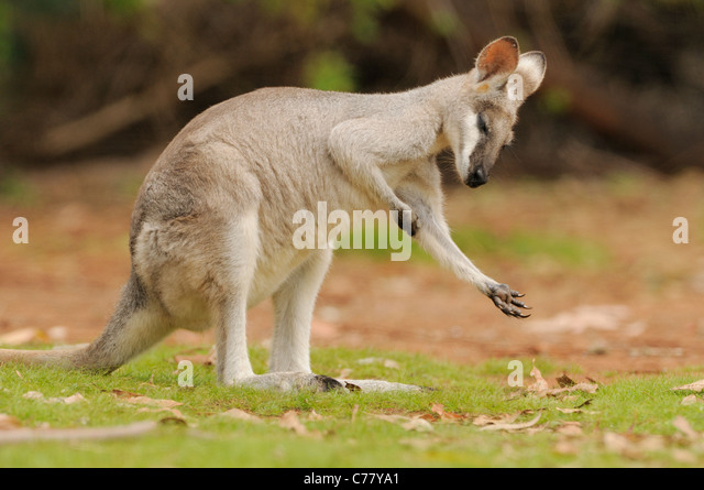 Whiptail Wallaby OR Pretty-faced Wallaby Macropus parryi Scratching Photographed in Queensland, Australia - Stock Image