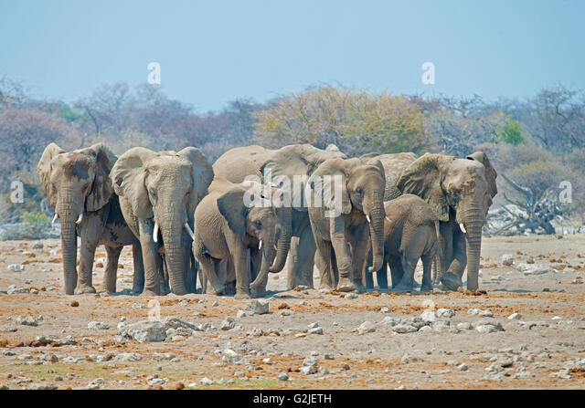African elephant (Loxodonta africana) family coming to a waterhole to drink, Etosha National Park, Namibia, southern - Stock Image