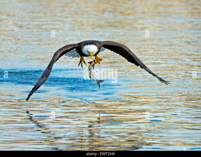 American Bald Eagle Fish Grab - Stock-Bilder