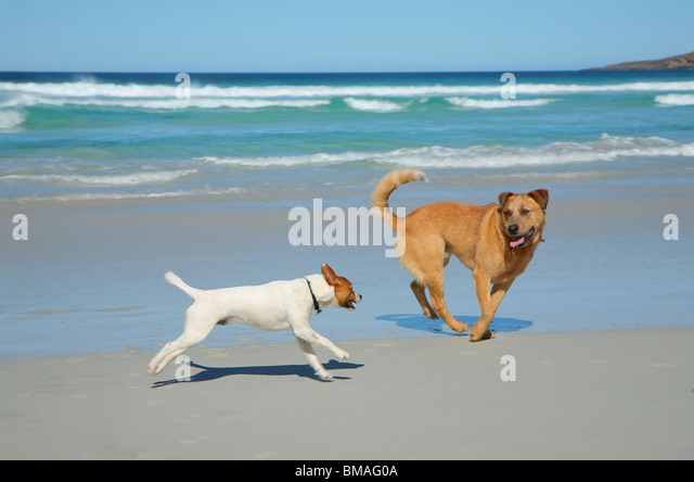 Dogs running on a beach - Stock Image