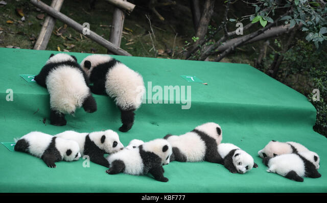 Chengdu. 29th Sep, 2017. Photo taken on Sept. 29, 2017 shows giant panda cubs at Chengdu Research Base of Giant - Stock Image