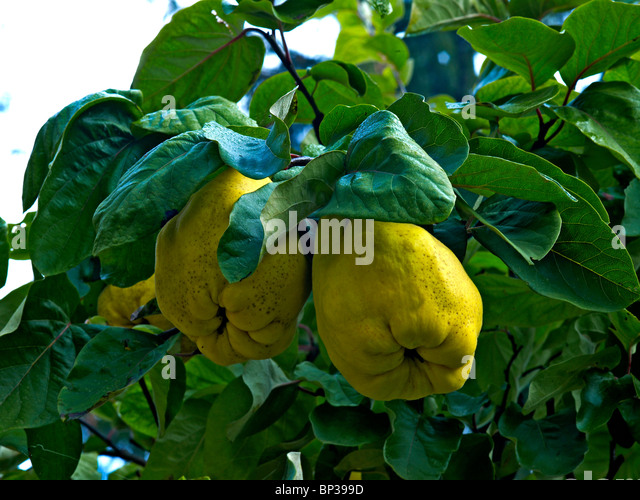 common quince cydonia oblonga stock photos common quince cydonia oblonga stock images alamy. Black Bedroom Furniture Sets. Home Design Ideas