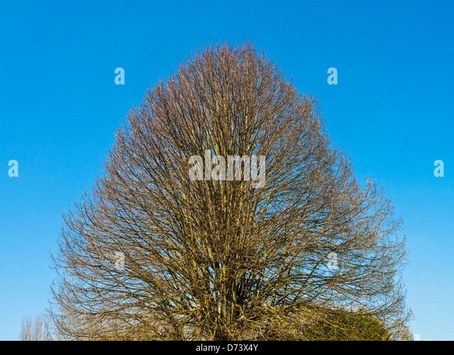 Shaped tree - France. - Stock Image