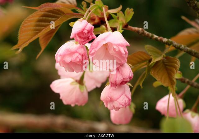 Prunus 'Hokusai' - Stock Image