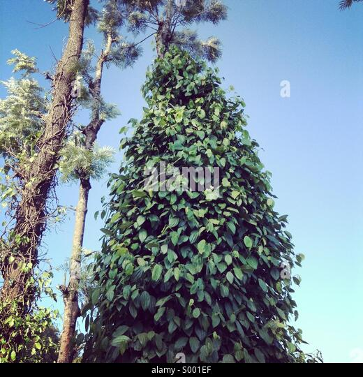 Pepper cultivation in kerala - Stock-Bilder