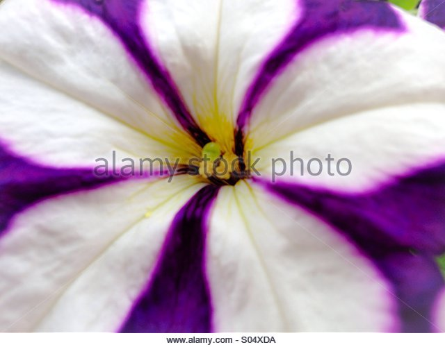 Macro of a Petunia. - Stock Image