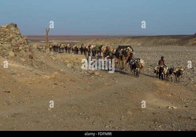 A camel train carrying hand-cut slabs of salt emerges from the salt flats at Dallol, Ethiopia - Stock Image