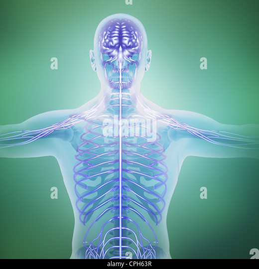 Human anatomy illustration - central nervous system - Stock Image