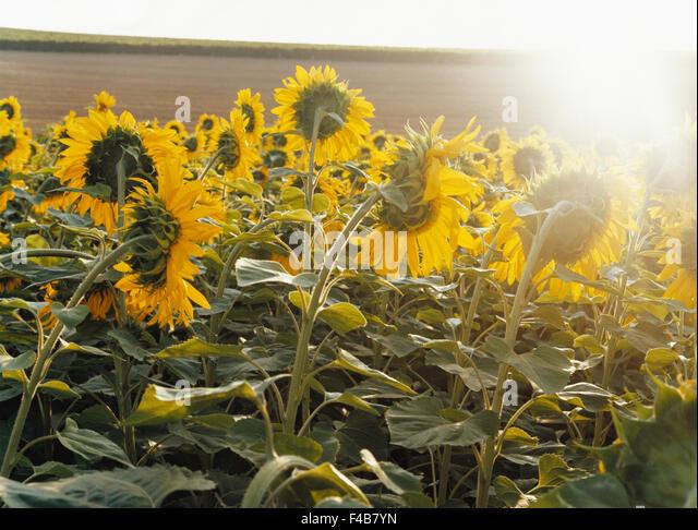 agriculture catalogue 2 color image field flower horizontal plants summer sunflower Swedish catalogue 3 - Stock-Bilder