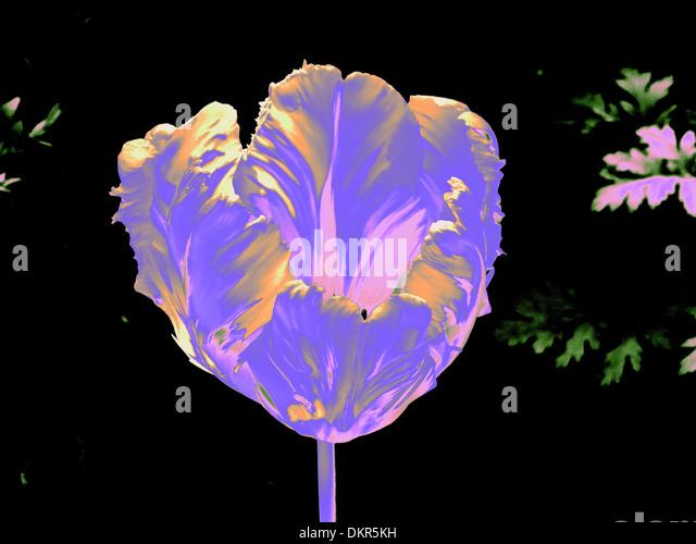 Flowers, plants, tulip, blue, alienated, blossom, flourish, flower cup, concepts, - Stock-Bilder