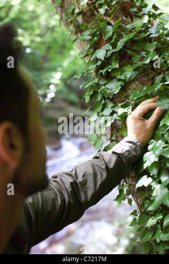 Man touching ivy growing on tree - Stock Image