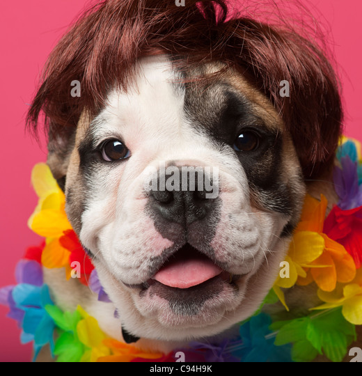 Close-up of English Bulldog puppy wearing a wig and colorful lei, 11 weeks old, in front of pink background - Stock Image