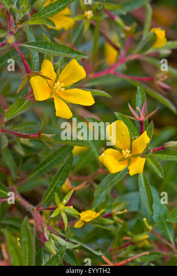 Perennial water primrose, Uruguay waterprimrose (Ludwigia grandiflora, Ludwigia uruguayensis, Jussiaea grandiflora), - Stock Image