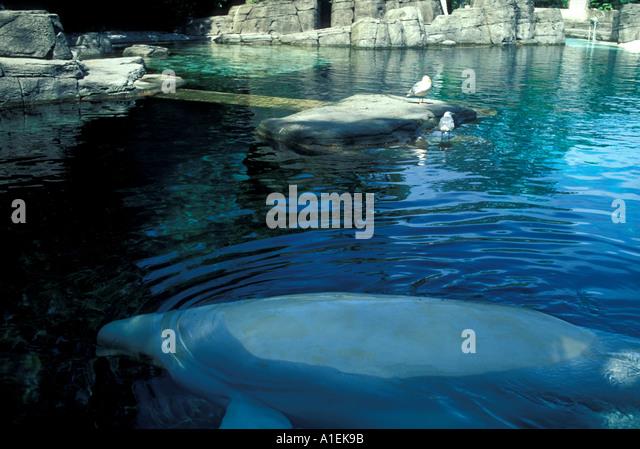VANCOUVER Canada Aquarium beluga whale - Stock Image
