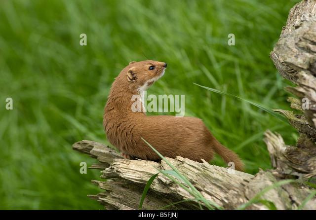 Weasel Mustela nivalis - Stock-Bilder
