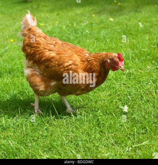 Free Range Organic Hen. - Stock Image