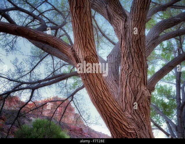 Cottonwood trees and rock formations with moon. Fruita, Capitol Reef National Park, Utah - Stock Image