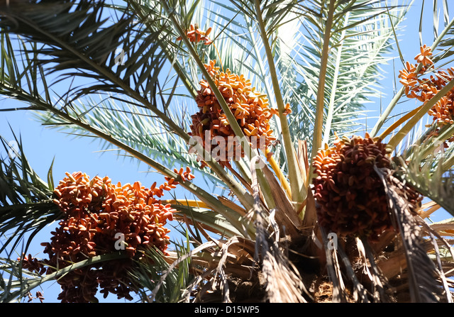 Close up of date fruits on the date palms in the largest oasis of Tozeur in Tunisia - Stock Image